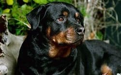 Beautiful Rottie