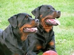 how to train rottweiler pdf