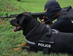 Chien de travail Rottweiler