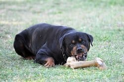 Dominant Behavior In Rottweilers How To Fix It Rottweilerhqcom