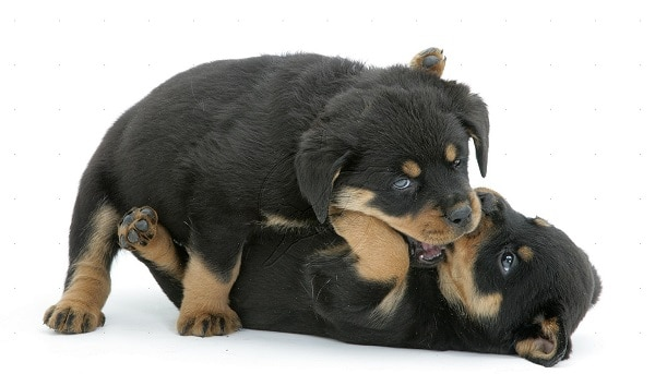 Rottweiler Puppies Biting During Playtime