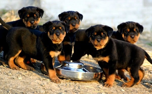 The Long Haired Rottweiler Strange Looking Rottie Rottweilerhqcom