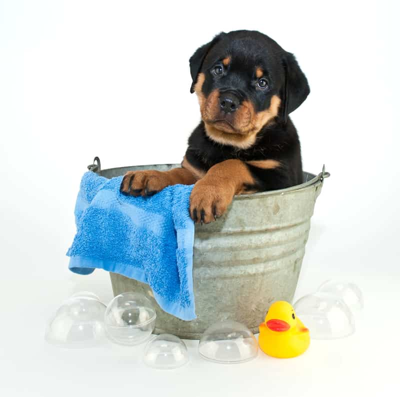 Bathing Your Rottweiler Puppy